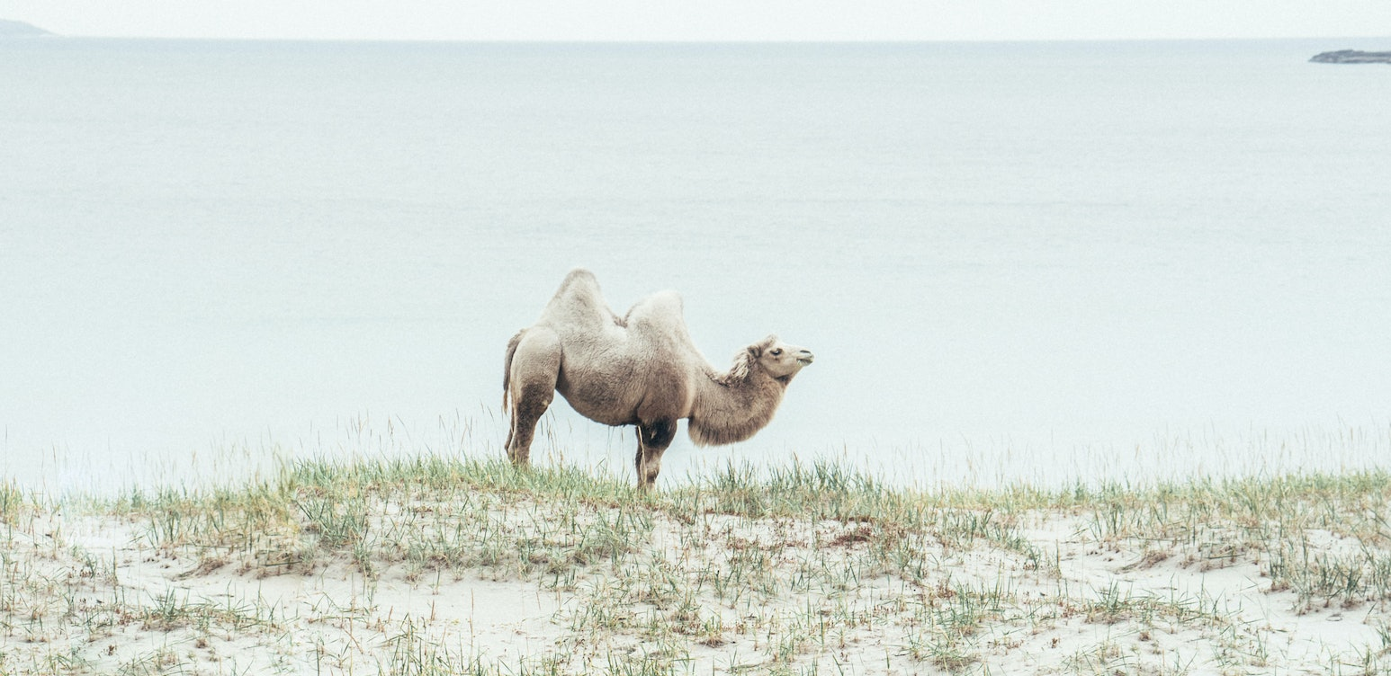 The Arctic Camels