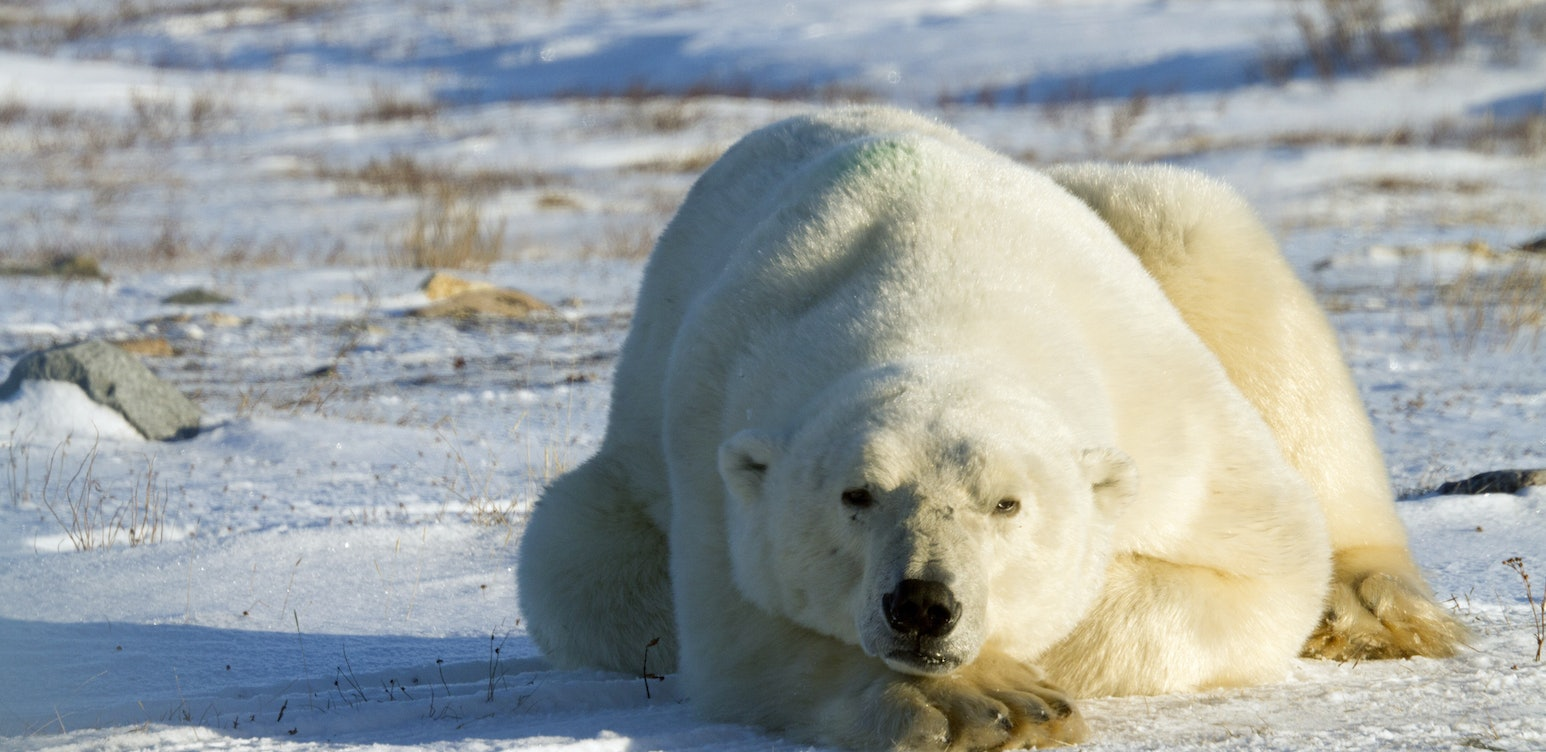 Deadly After Dark: Polar Bear Invasion